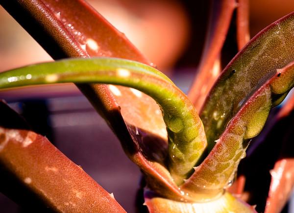 Aloe tewoldei