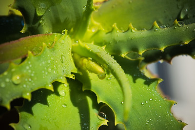 Aloe tororoana