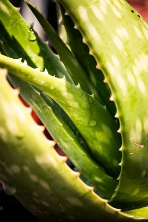Aloe turkanensis