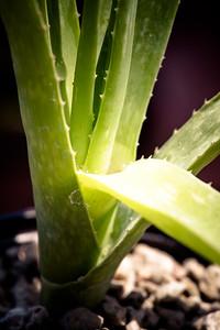Aloe veseyi