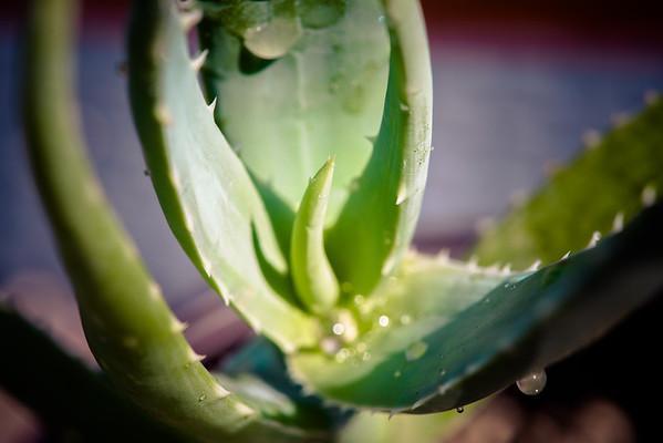 Aloe volkensii ssp. multicaulis
