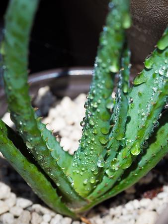 Aloe wickensii