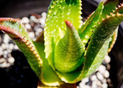 Aloe wilsonii