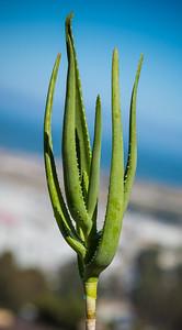 Aloe yemenica