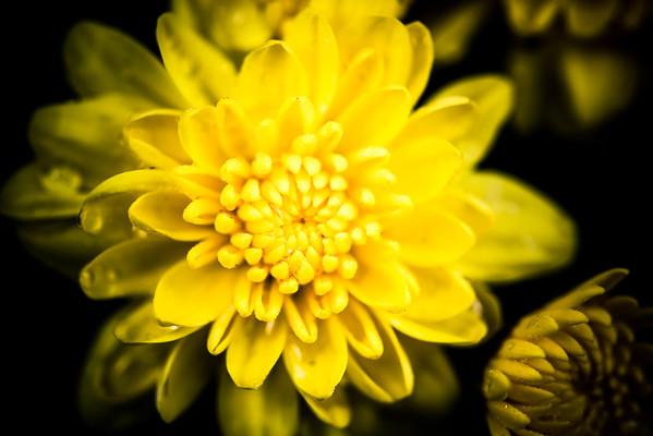 Chrysanthemum × morifolium