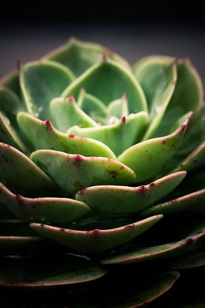 Echeveria × imbricata