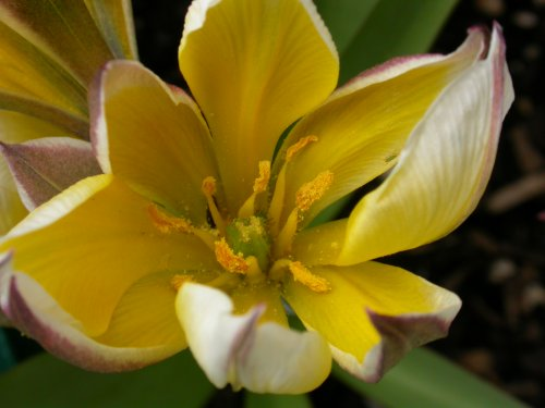 <i>Tulipa tarda</i>