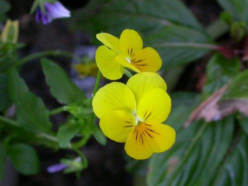<i>Viola cornuta</i> 'Sorbet'