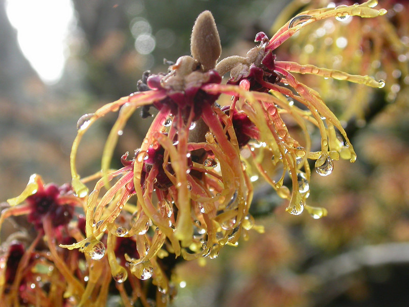 <i>Corylopsis</i> spp Winter hazel
