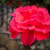 Posh Pink Rose