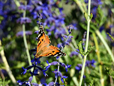 Painted Lady on Russian Sage