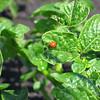 Ladybug on the potato plants