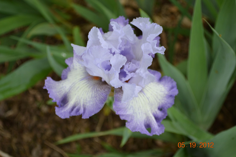 Lavender and white bearded iris