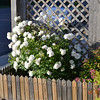 Iceberg Roses and Japanese spirea