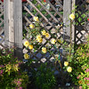 Japanese spirea and yellow climbing rose