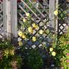 Japanese spirea and yellow climbing rose