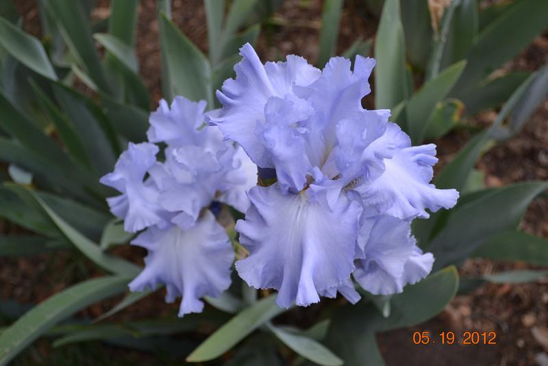 Periwinkle bearded iris