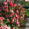 Climbing Roses: 4th of July, Red Blaze, and Joseph's Coat