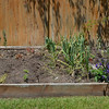 Backyard garden isn't too exciting right now. The garlic is almost done, though