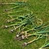 Garlic from the backyard garden