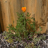 A California Poppy popped up in our backyard. What a nice surprise