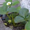 We have a few strawberry plants in the backyard, and they're fruiting already