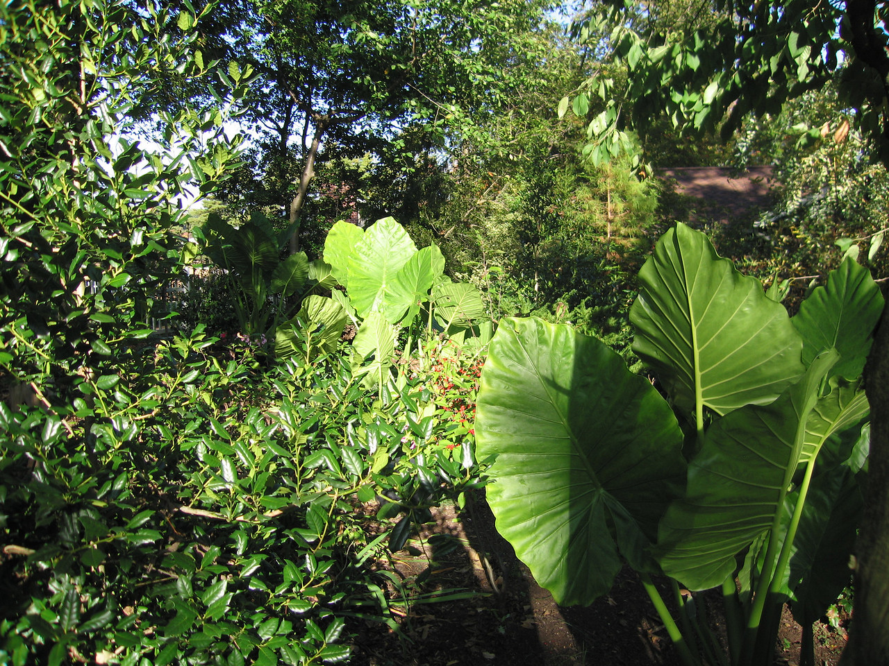 "The ""Back Garden"" with elephant ears that love it here!"