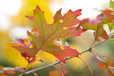 Quercus shumardii (?)