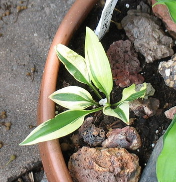 Hosta 'Proud Sentry' - 2010