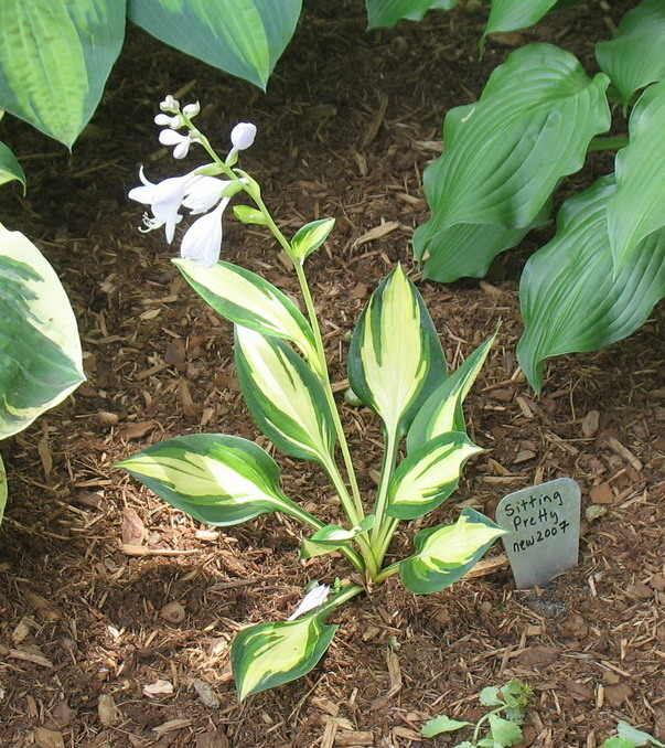 Hosta 'Sitting Pretty' - 2008