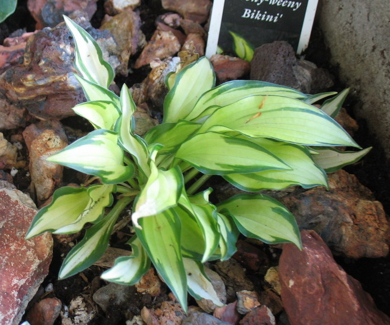Hosta 'Teeny-weeny Bikini' - 2013 - July 11