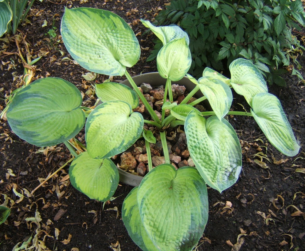 Hosta 'Princess Anastasia' - 2009