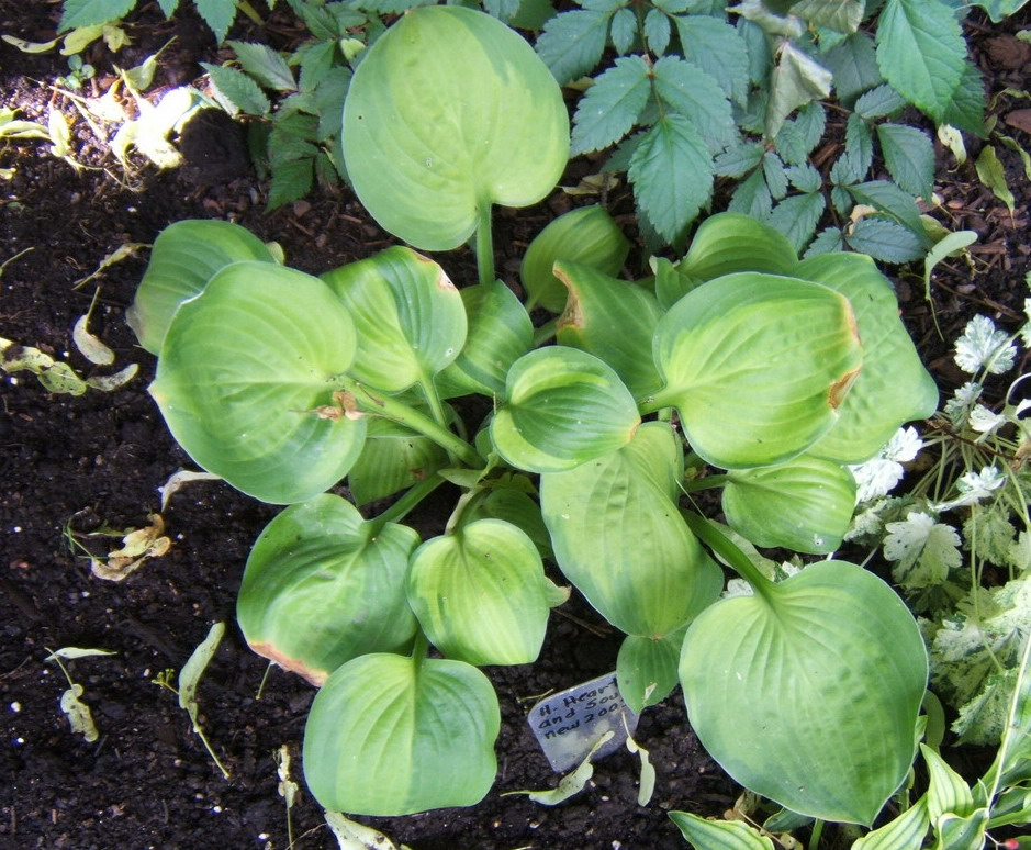Hosta 'Heart and Soul' - 2009