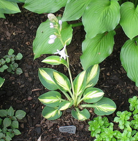 Hosta 'Sitting Pretty' - 2010