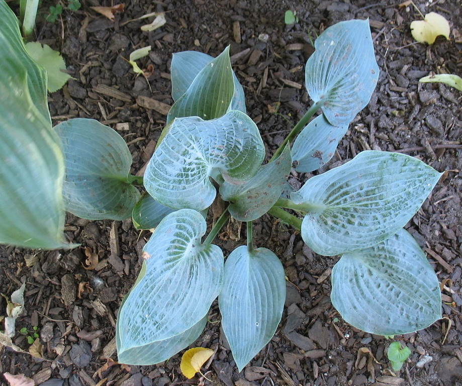 Hosta 'Full Moon' - 2011