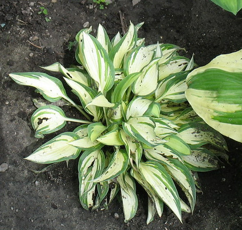 Hosta 'Moonstruck' - 2014 - July 8