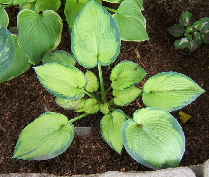 Hosta 'Princess Anastasia' - 2008