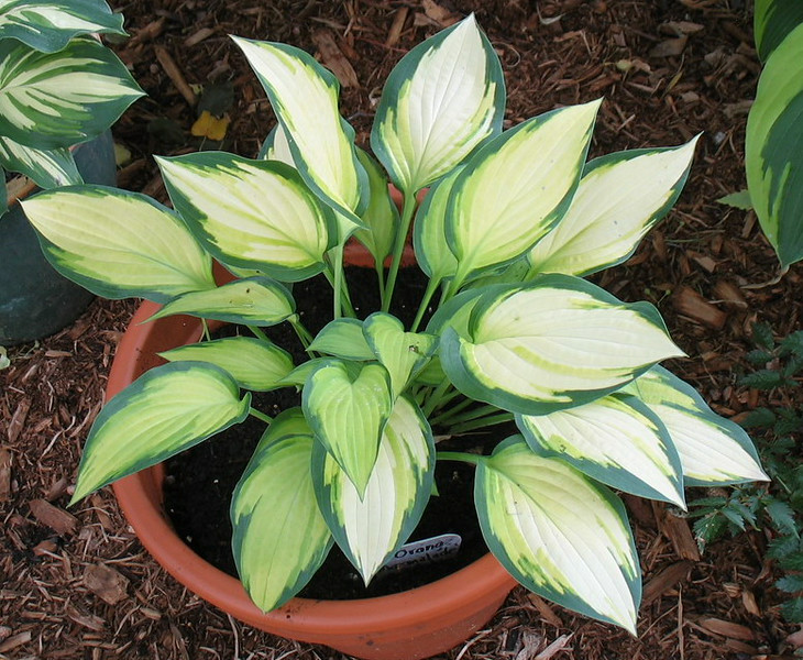 Hosta 'Orange Marmalade' - 2014 - July 27