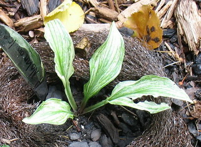 Hosta 'Nolan on Ice'  - 2014 - July 27