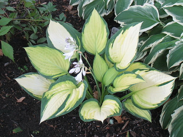 Hosta 'Orange Marmalade' - 2011