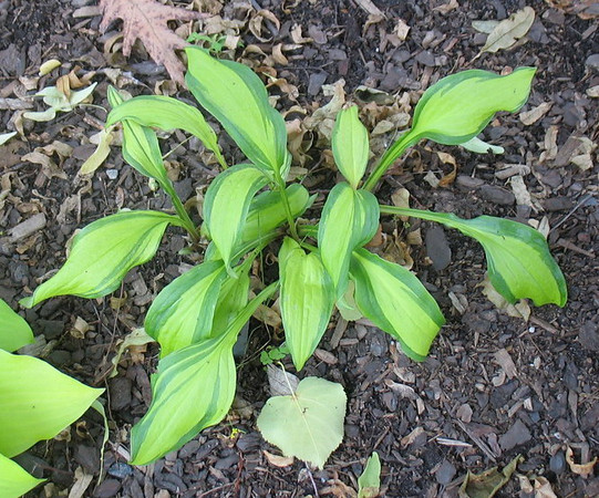 Hosta 'Red Hot Flash - 2013 - June 25