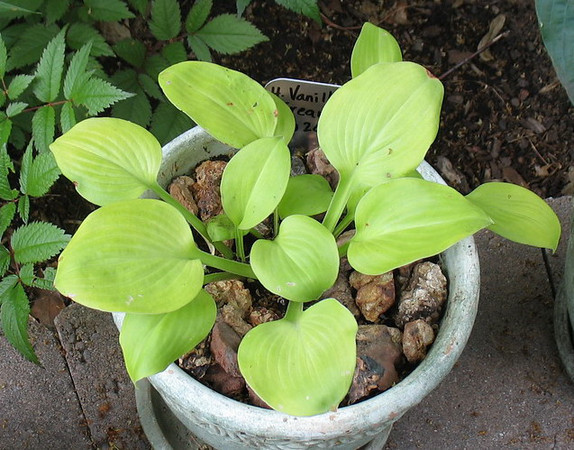 Hosta 'Vanilla Cream' - 2010