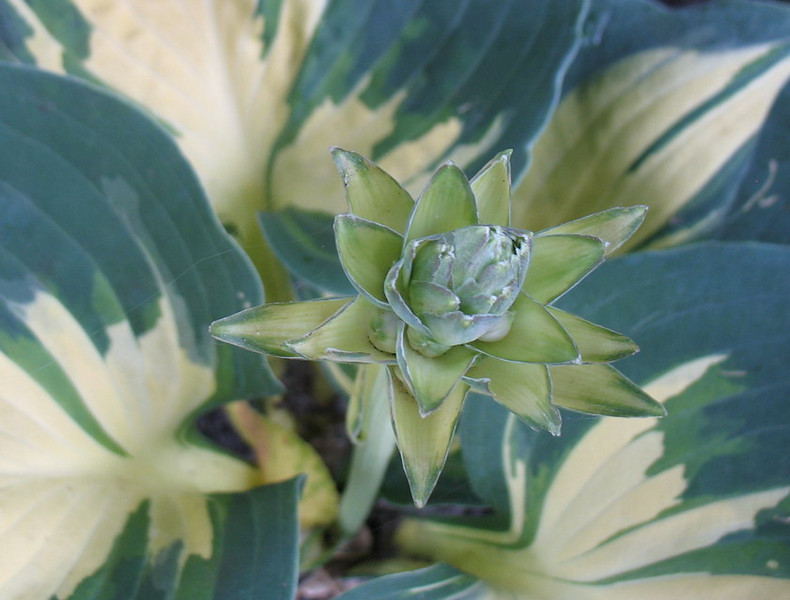 Hosta 'Lakeside Cupcake'  2011