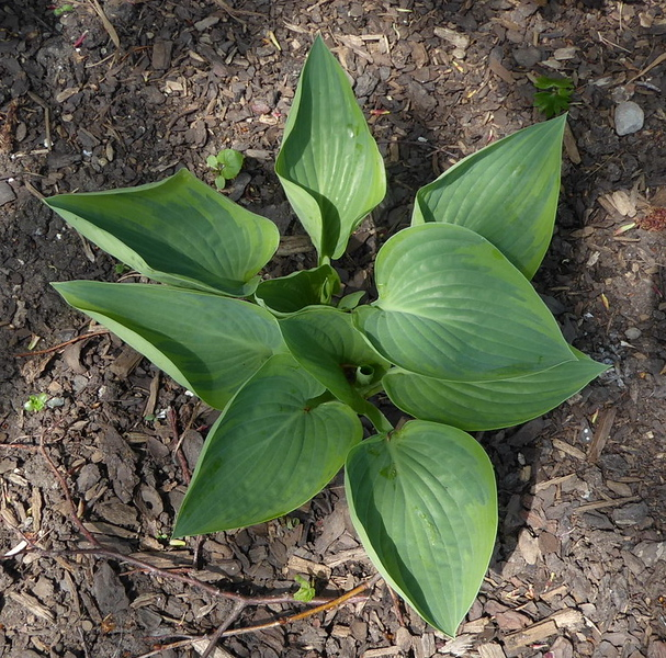 Hosta 'Peace' - 2017 - May 18