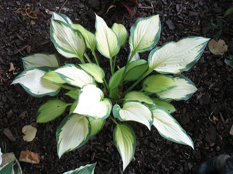 Hosta 'Orange Marmalade' - 2012 - July 13