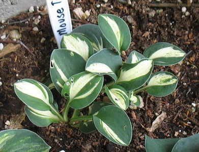 Hosta 'Mouse Trap' - 2012 - July 3