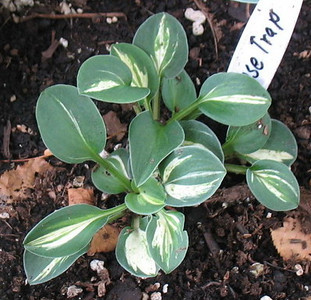 Hosta 'Mouse Trap' - 2011