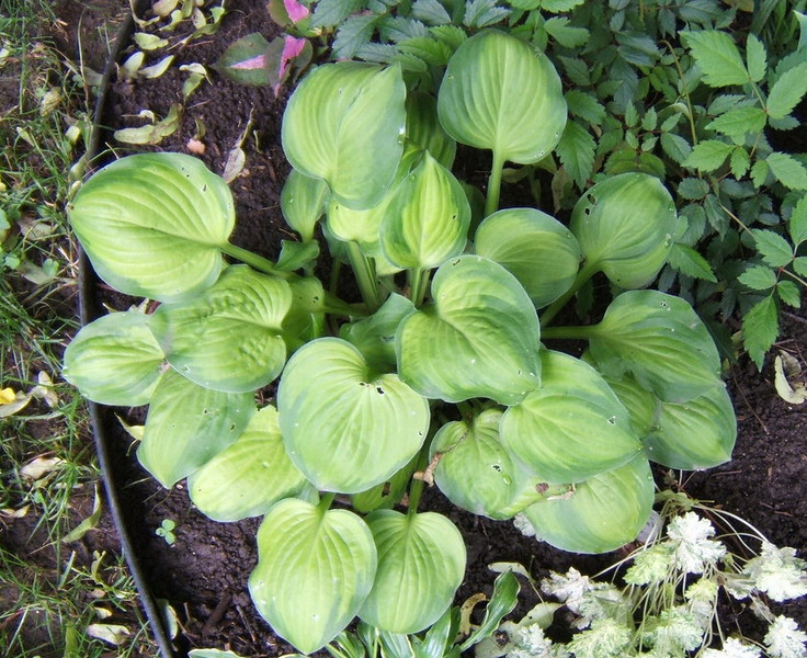 Hosta 'Heart and Soul' - 2008