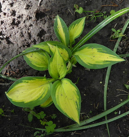 Hosta 'Orange Marmalade' - 2017 - May 30