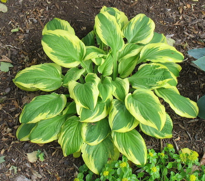 Hosta 'Mack the Knife' - 2010